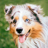 Miniature American Shepherd world database